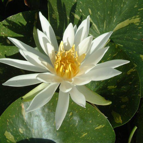 Arc-en-Ciel water lily