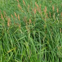 Lesser Pond Sedge