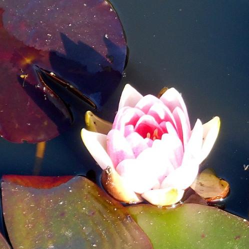 Conqueror water lily