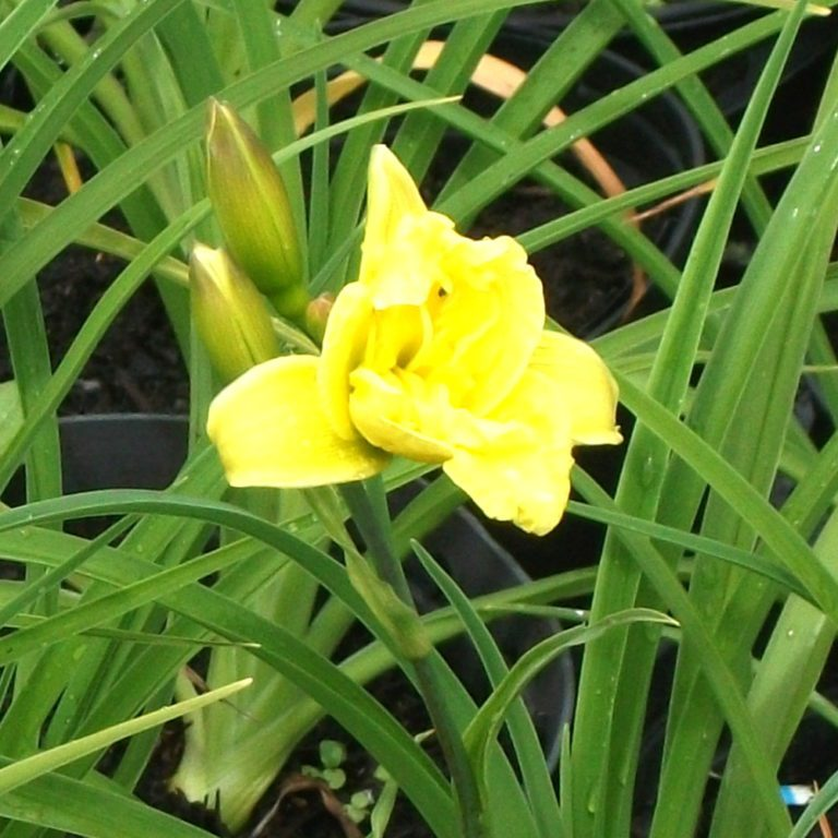 Day lily 'Double River Wye'