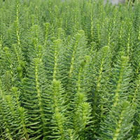 Mares Tail