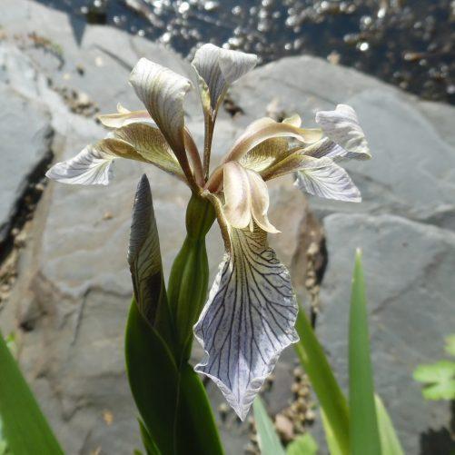 Gladwyn iris