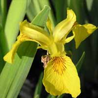 Variegated Yellow Flag Iris
