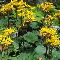 Leopard Plant 'Desdemona'