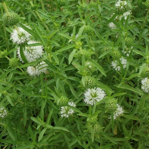 White Water spearmint