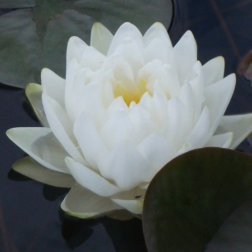 Gonnere water lily
