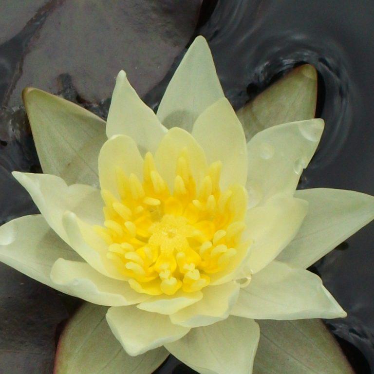 Pygmy Helvola water lily