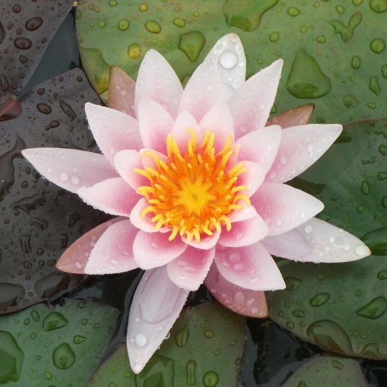 Rose Nymphe water lily