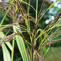 Variegated Norfolk Reed