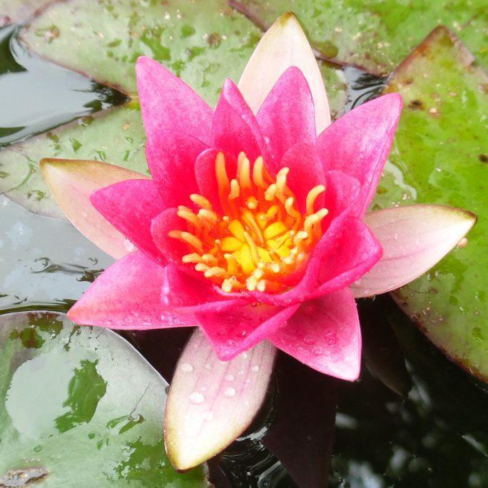 Pygmy Rubra water lily