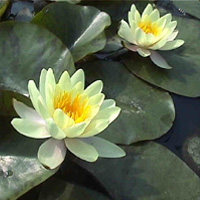 Chromatella yellow water lily. (N. 'Marliacea Chromatella')