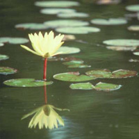 Colonel A.J.Welch water lily (N.'Colonel A.J.Welch')