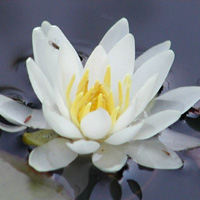 Snow Princess dwarf white water lily(Nymphaea 'Snow Princess')
