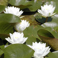 Virginalis white water lily (Nymphaea 'Virginalis')