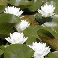 Virginalis white water lily (Nymphaea 'Virginalis')