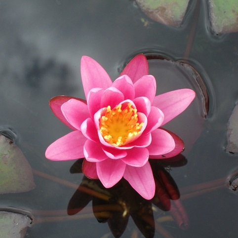 N.yuh Ling water lily