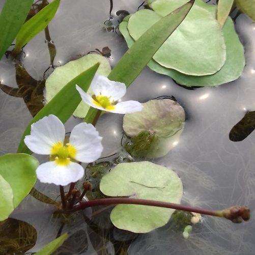 Frogbit