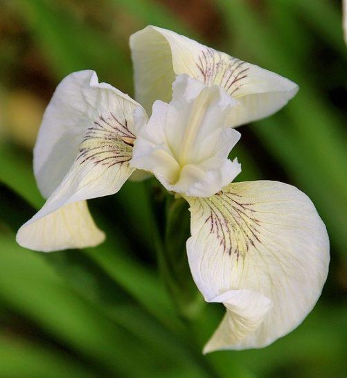 Iris pseudacorus 'Creme de la Creme'