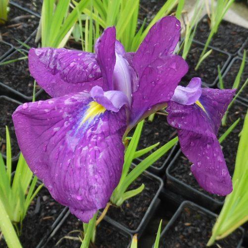 Japanese Clematis Iris