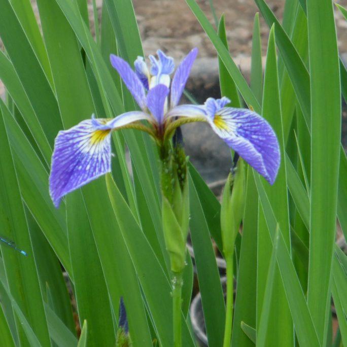 Iris versicolour 'Gerald Derby'