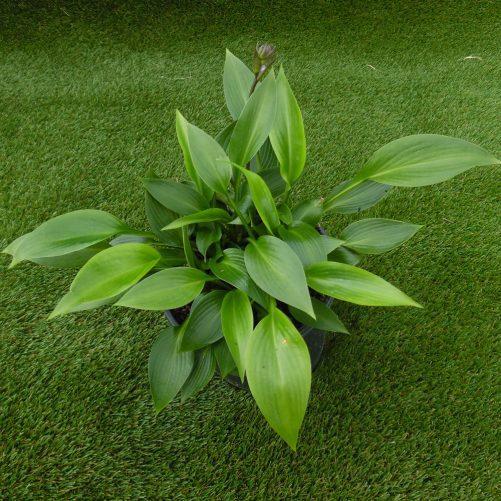 Hosta Devon green