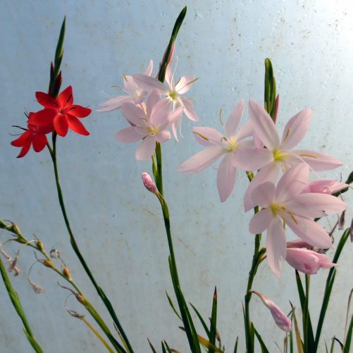 Schizostylis, Kaffir Lily, Mixed Colours