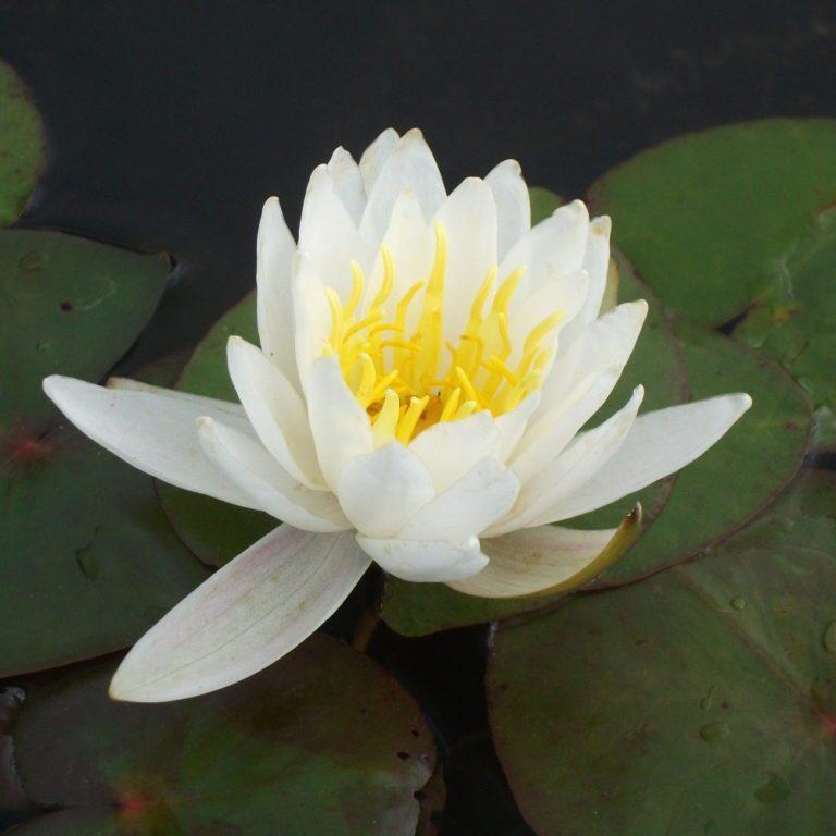 Pygmy Alba water lily