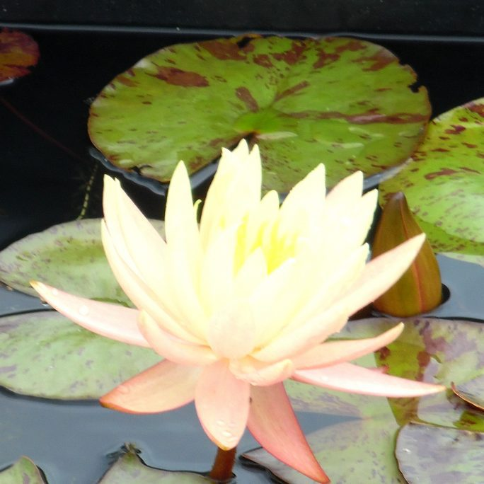 Connoisseur Water Lily Pack - Medium Ponds