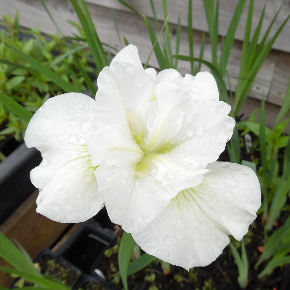 Iris Sibirica Snow Queen