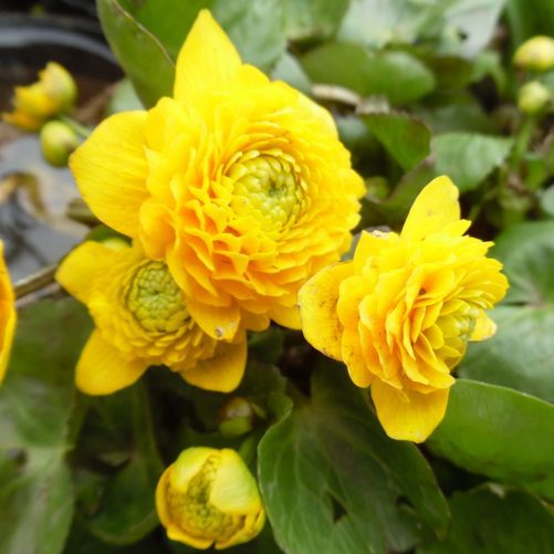 Double Flowering Marsh Marigold