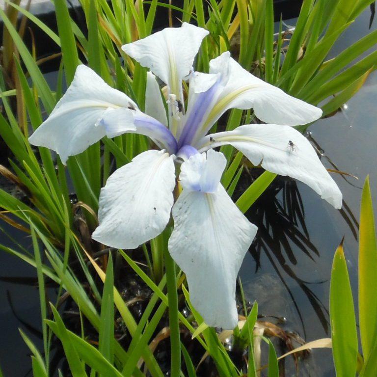 Iris Laevigata Snowdrift