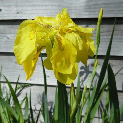Double Yellow Flag Iris
