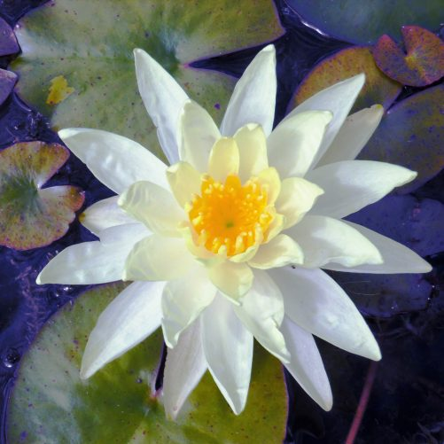 Sunrise water lily