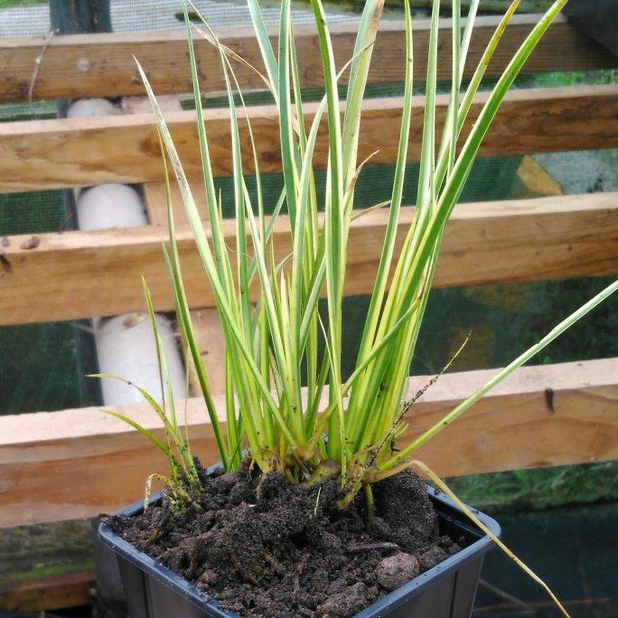 dwarf-striped-rush-acorus-gramineus-variegatus
