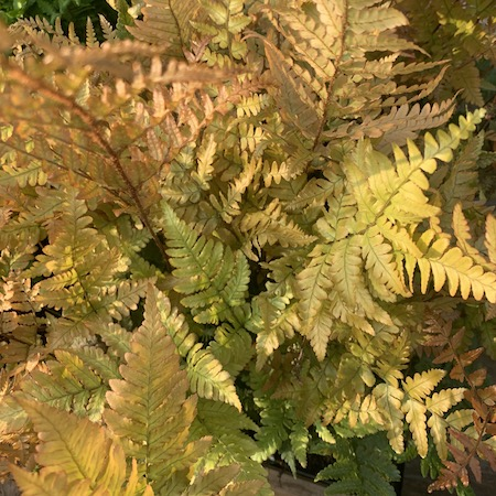 Autumn fern.