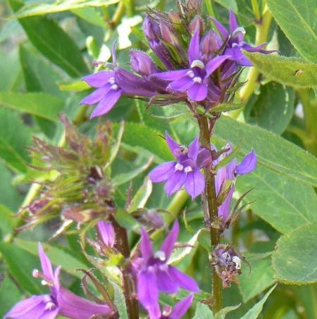 Llbelia Vedrariensis 1 600 2 Copy