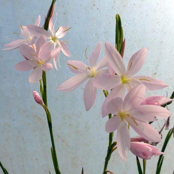 Schizostylis Pink