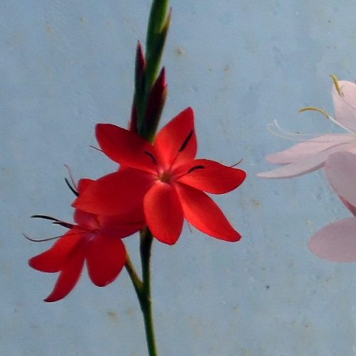 Schizostylis Red