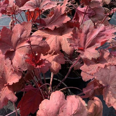Heuchera Autumn Leaves