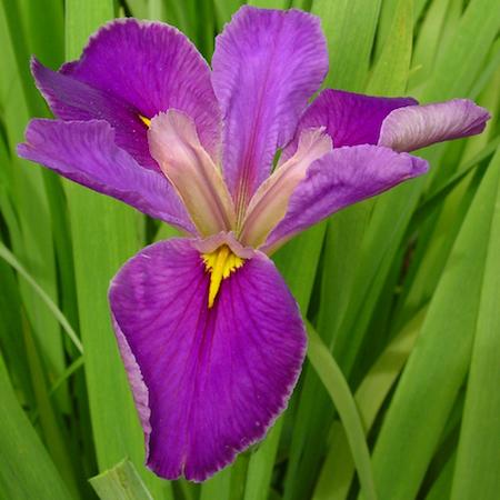 Iris Pagelletta