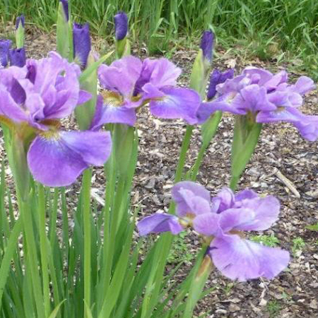 Iris Sibirica Having Fun
