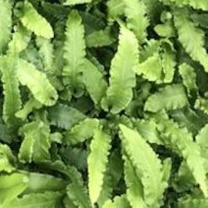Hart's tongue fern 'Angustatum'