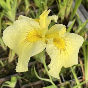 Iris Kimboshi
