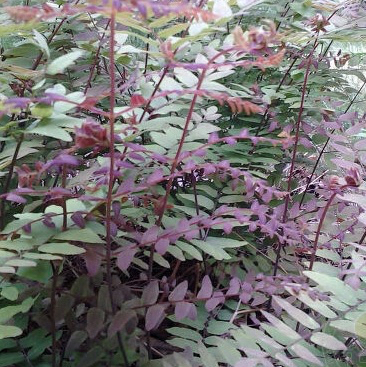 Osmunda Regalis Purpurescens