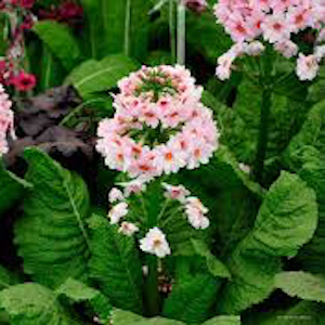Primula Apple Blosson