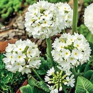 Drumstick primula white. Primula denticulata 'Alba'