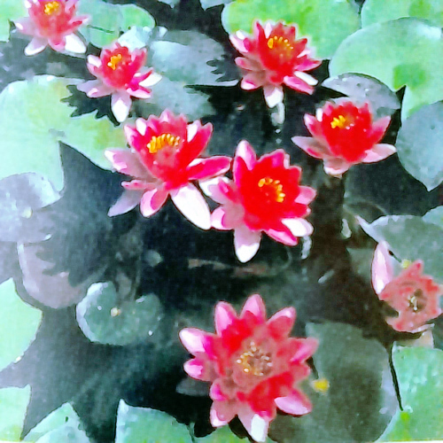 Perry's Baby Red waterlily